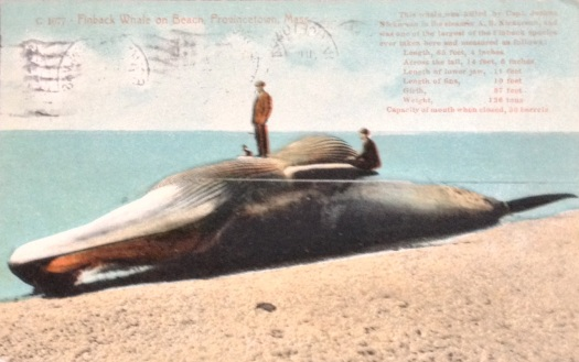 Finback Whale on Provincetown beach one of the largest ever taken.